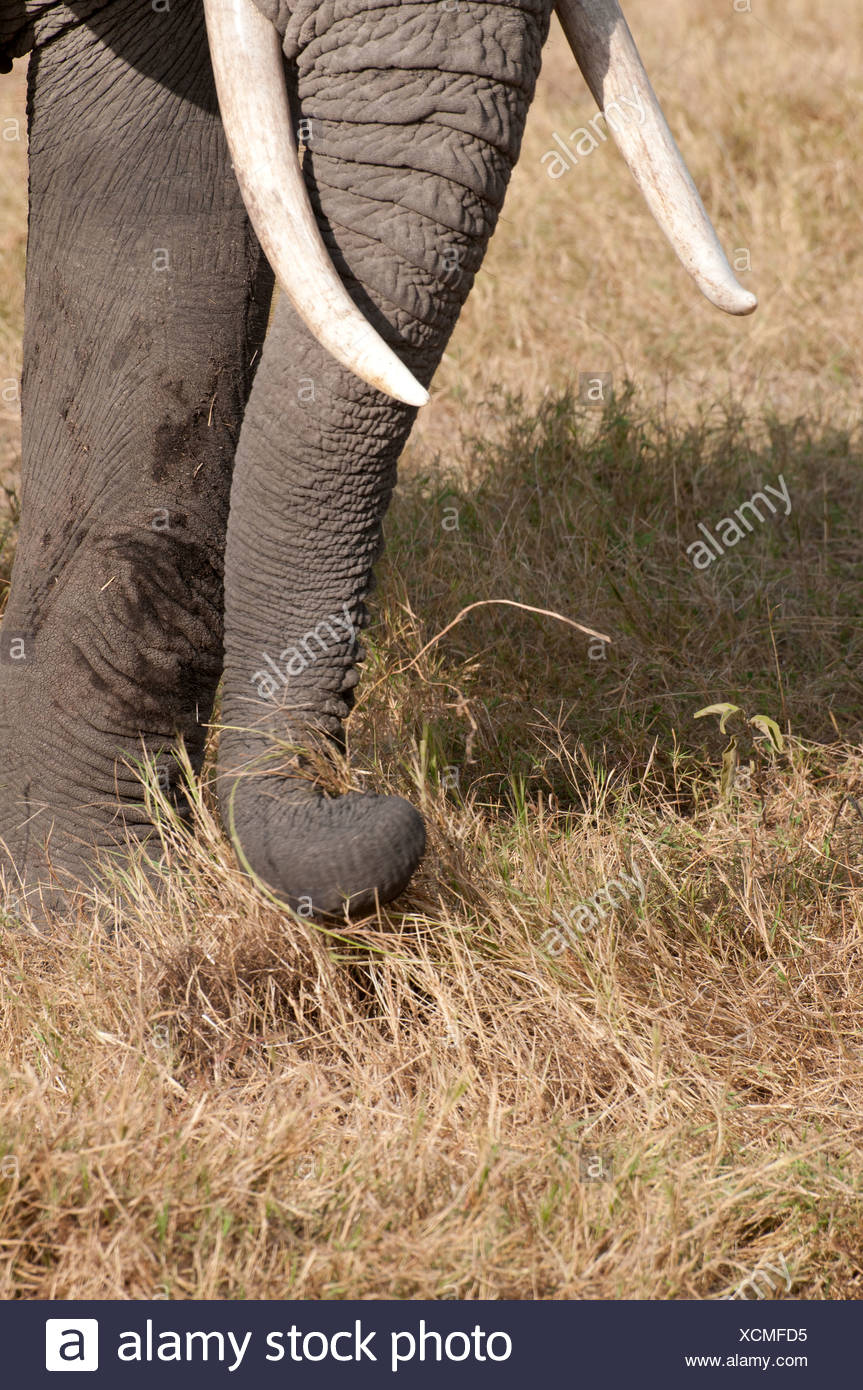 Close up detail of elephant using trunk to pluck grass whilst grazing feeding on grass in Amboseli National Park Kenya - Stock Image