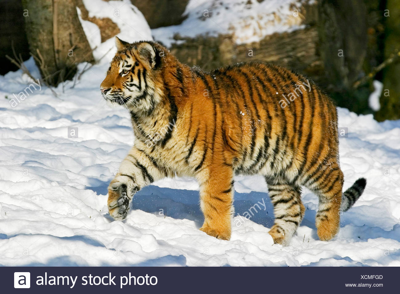Young Sibirian Tiger (Panthera tigris altaica) in snow - Stock Image