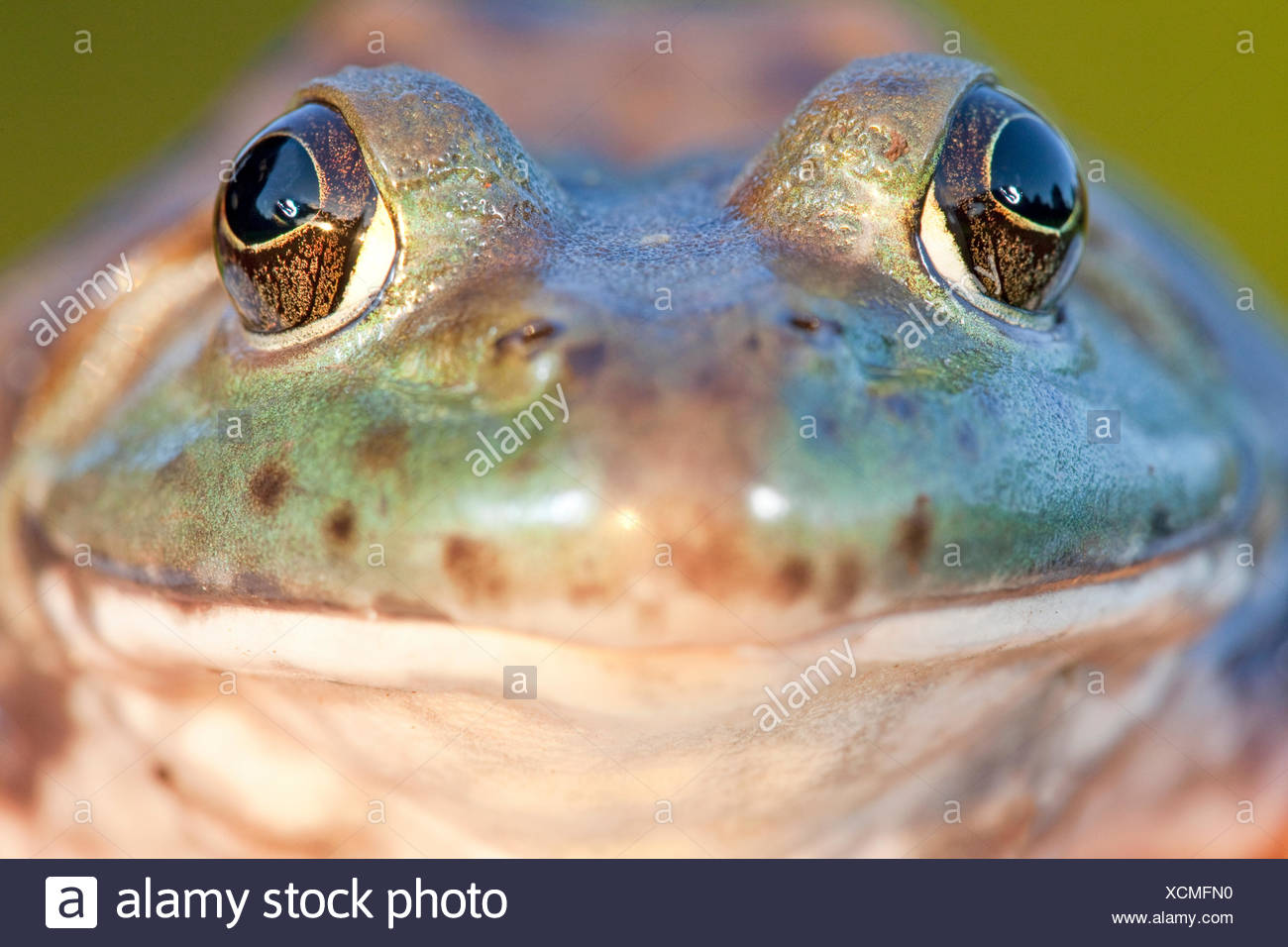 frontal portret of a North American Bullfrog - Stock Image