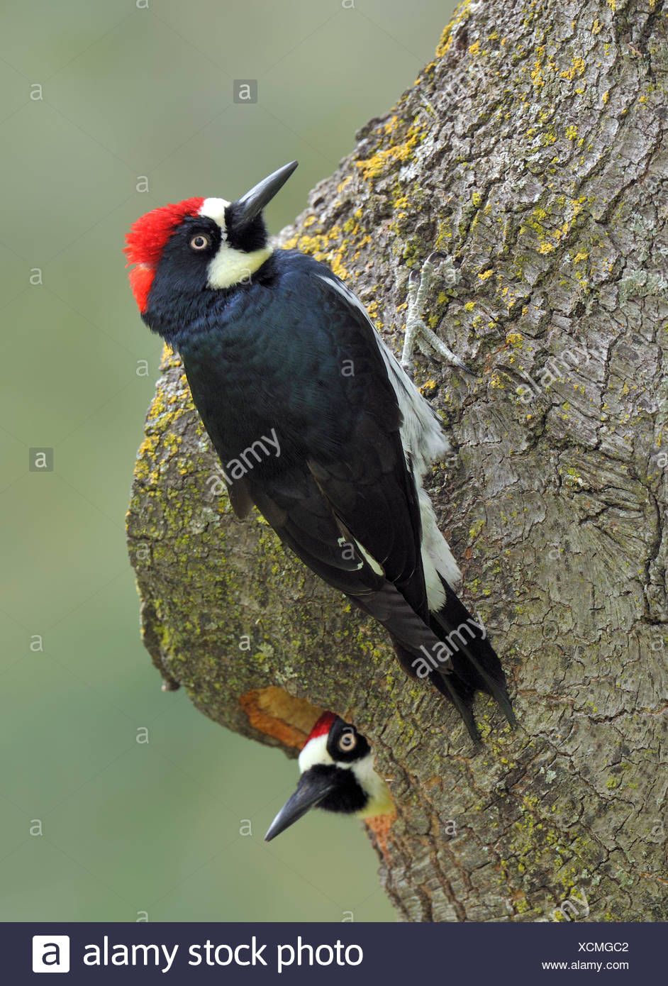 Pair of Acorn Woodpeckers (Melanerpes formicivorus) preparing nest hole in Oak Tree at Anderson River Park California - Stock Image