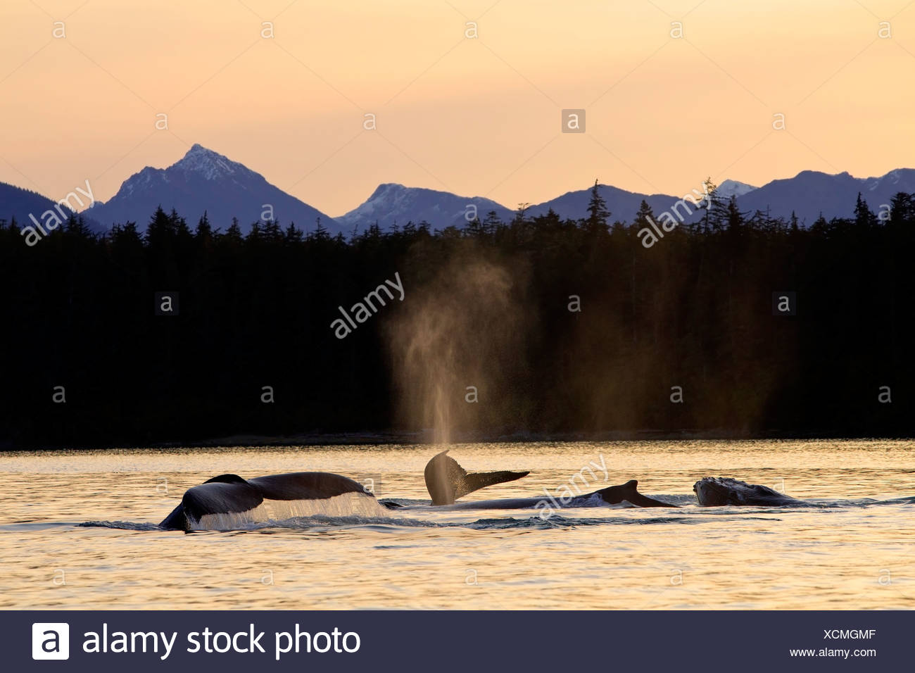 Humpback Whales swim along the shoreline of Admiralty Island at sunset, Stephens Passage, Inside Passage, Alaska - Stock Image