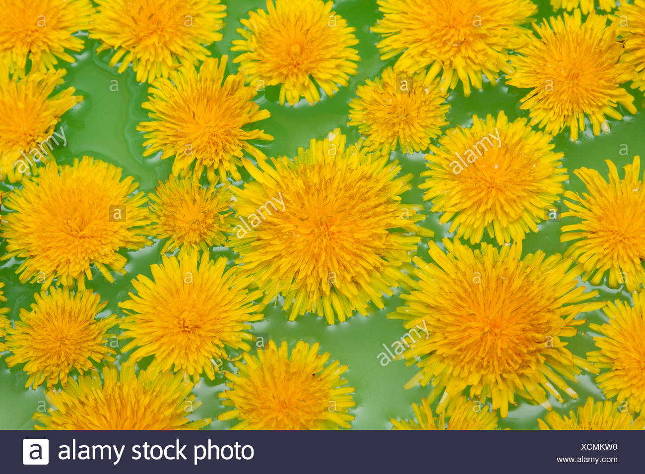Yellow dandelions sail on green water - Stock Image