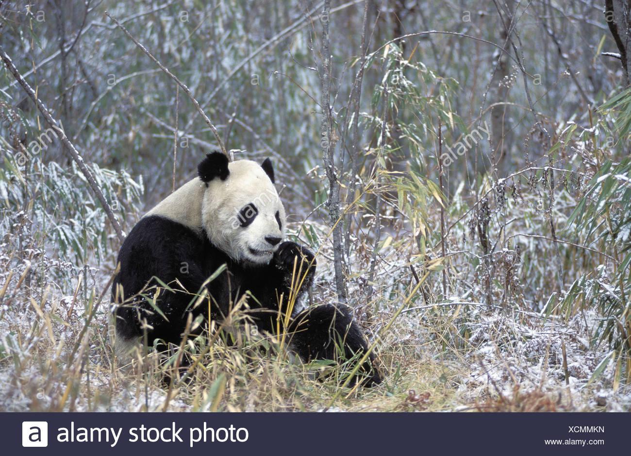 Zoology Animals Ursidae Giant Panda Ailuropoda Melanoleuca