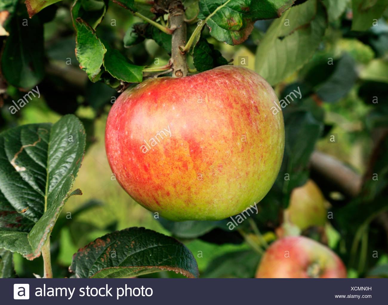 Apple 'Howgate Wonder',   malus domestica apples variety varieties growing on tree - Stock Image