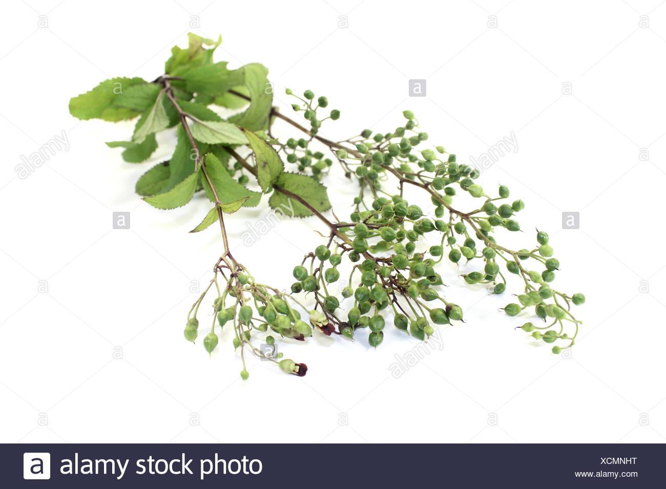 fresh green Bei Xuan Shen - Stock Image