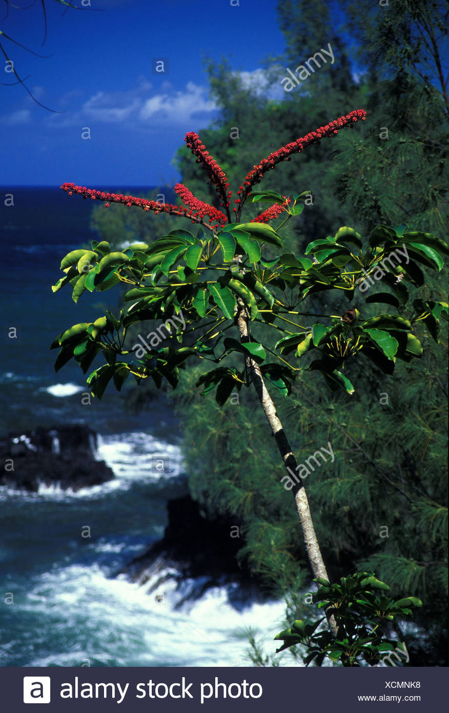 Tropical plant leaning toward onomea bay in Hawaii tropical botanical gardens - Stock Image