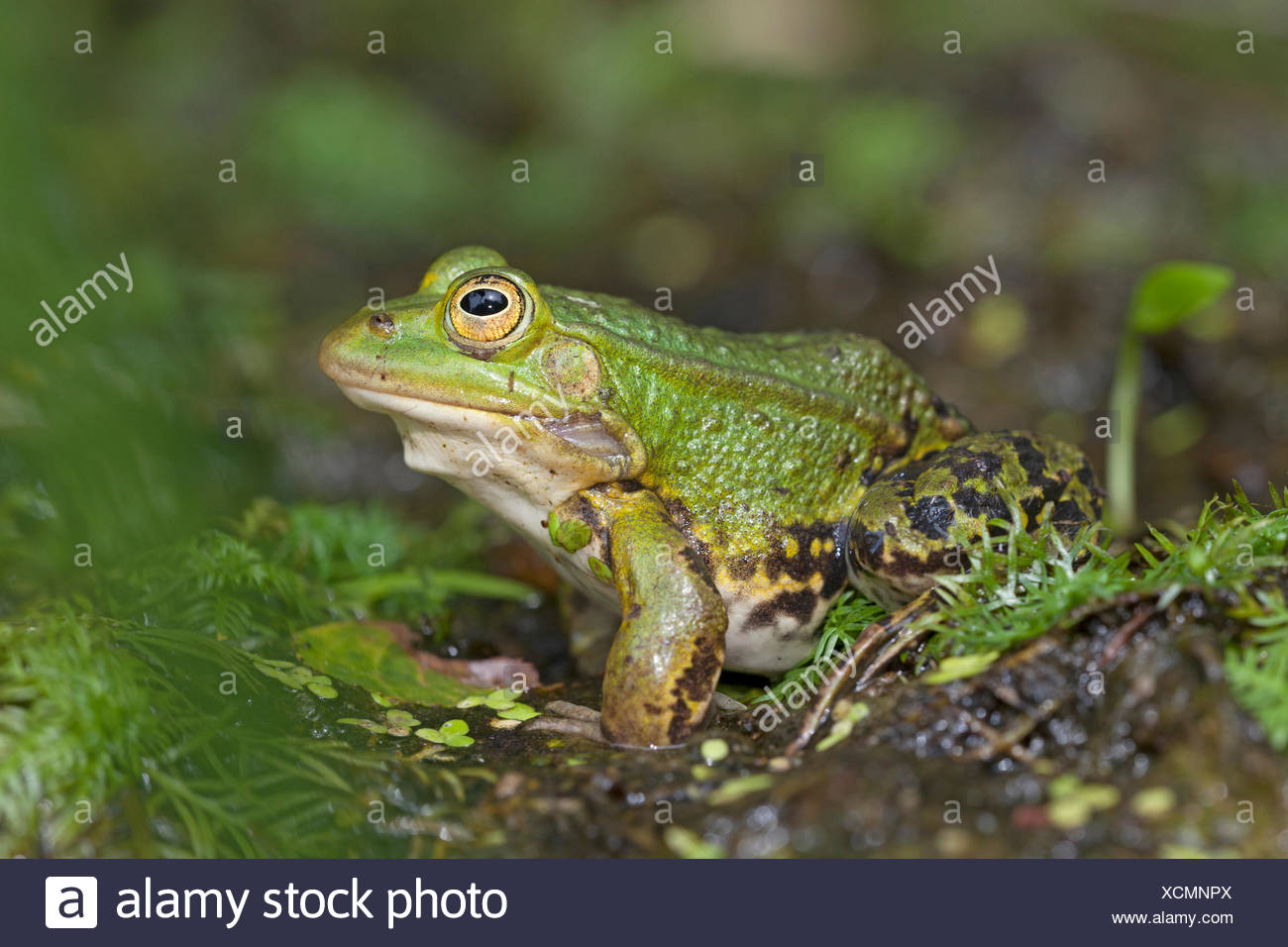pool frog resting on shore - Stock Image