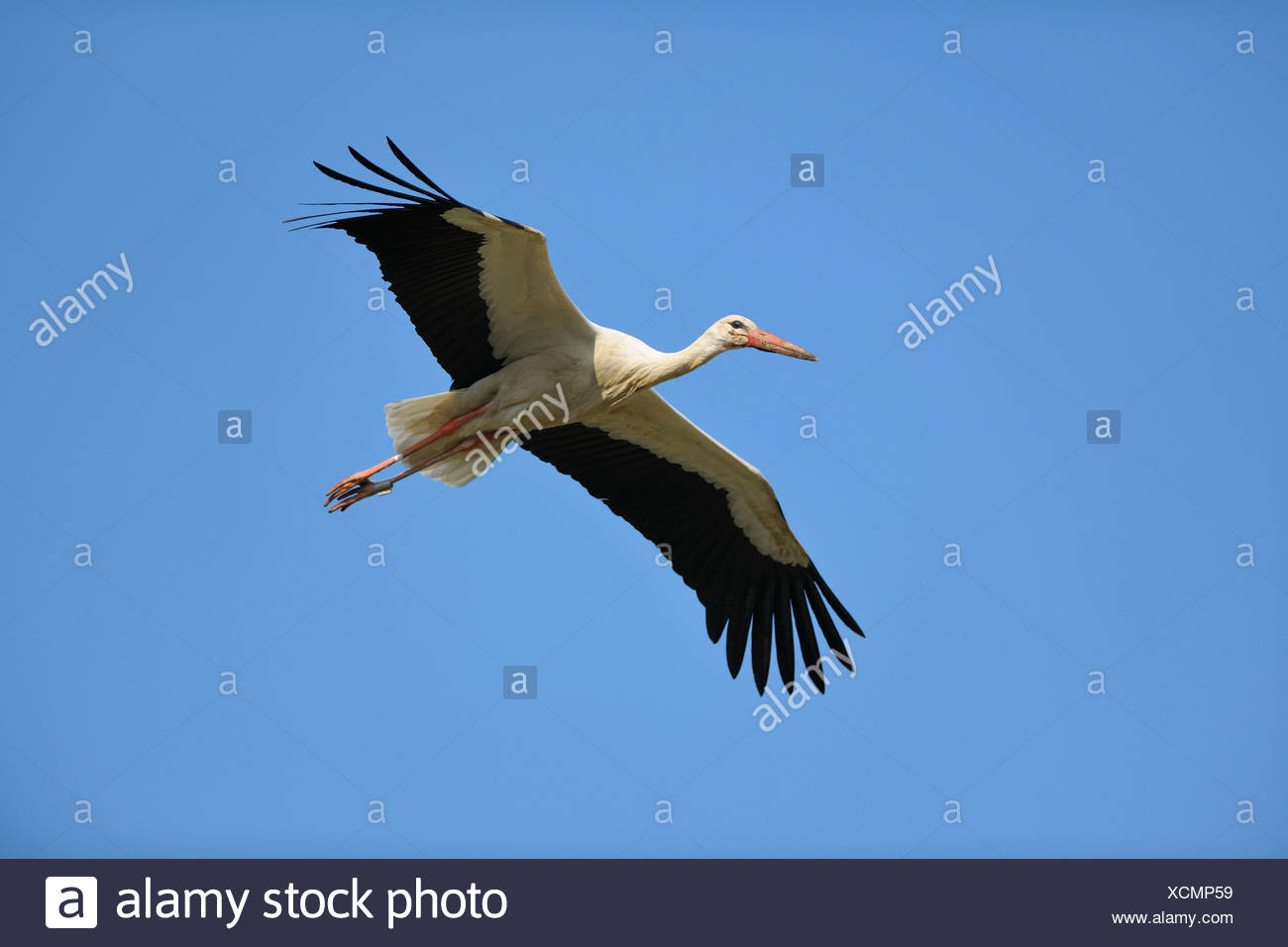 White Stork, Ciconia ciconia, Flying, Spring, Hesse, Germany Stock Photo