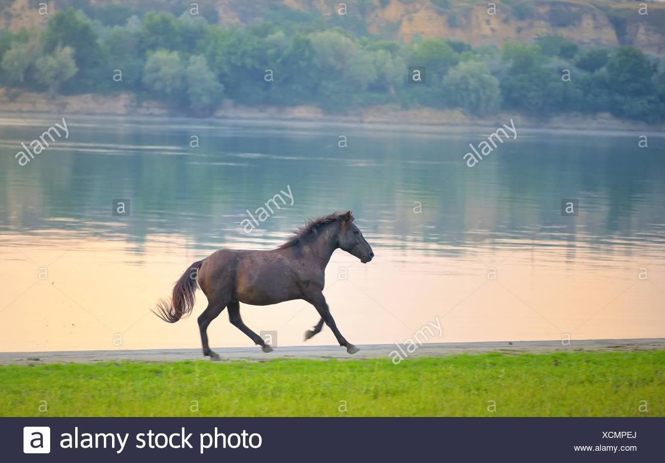 Wild horse running near Danube river. - Stock Image