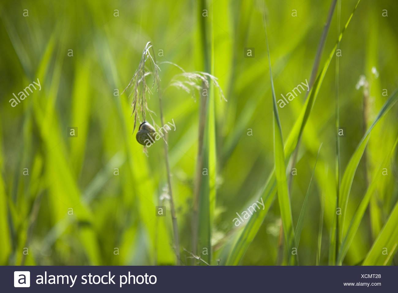 Escargot in blade grass, - Stock Image