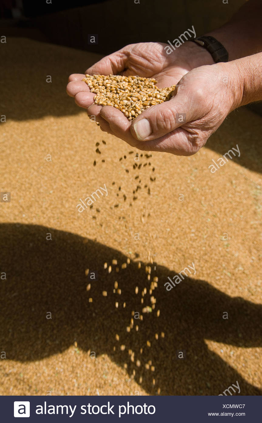 Farmer scooping handful of grains - Stock Image