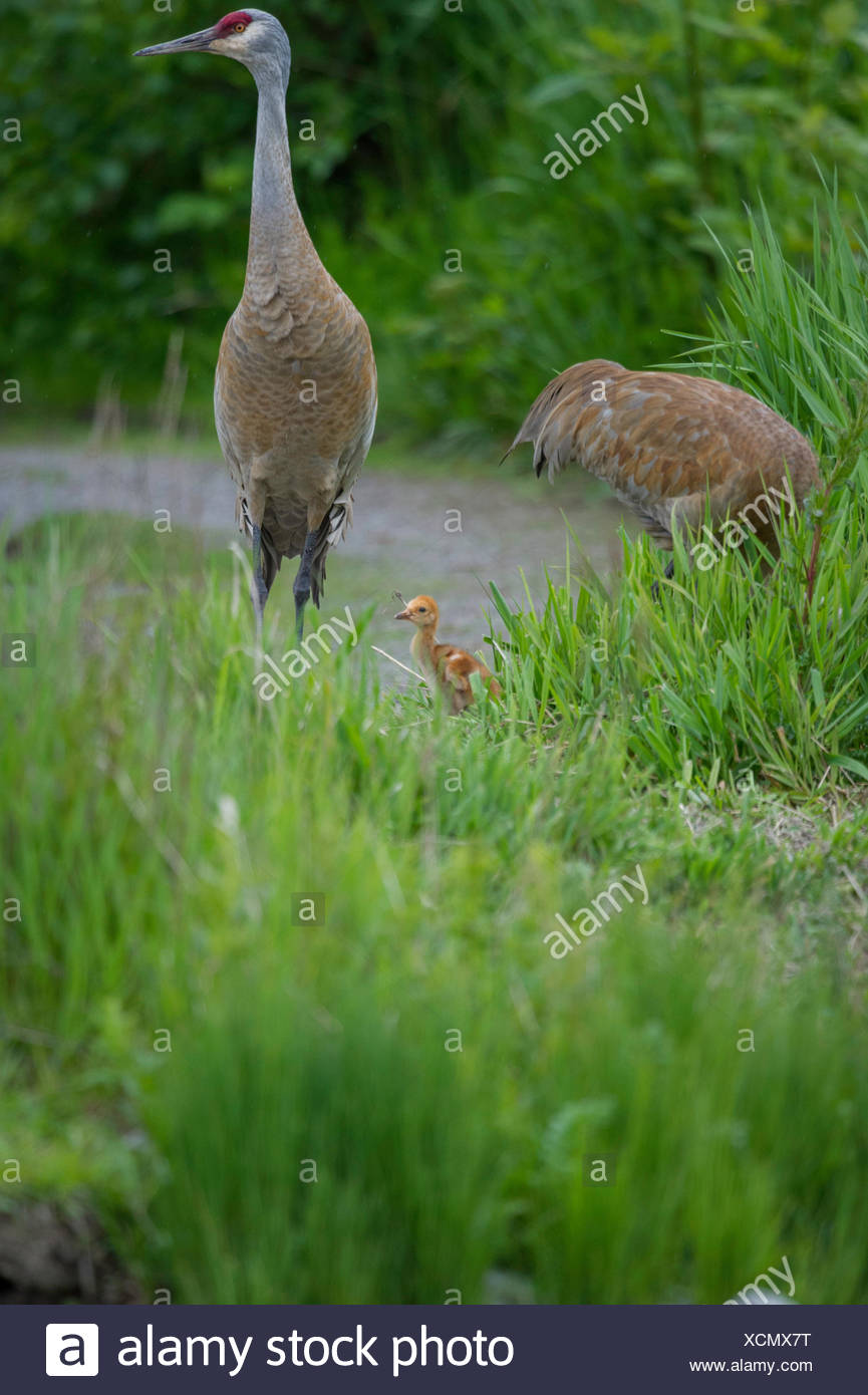 The omnivorous Sandhill Crane (Antigone canadensis ) feeds on land or in shallow marshes where plants grow out of the water, gleaning from the surface and probing with its bill British Columbia, Canada - Stock Image