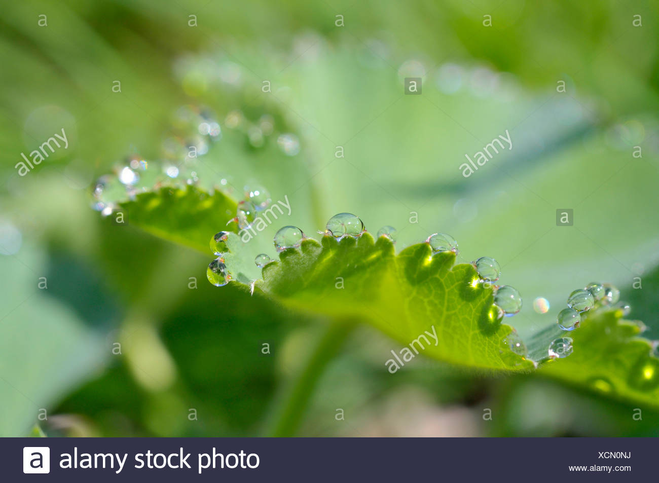 Drops of water on the leaf of a Lady's Mantle (Alchemilla) - Stock Image