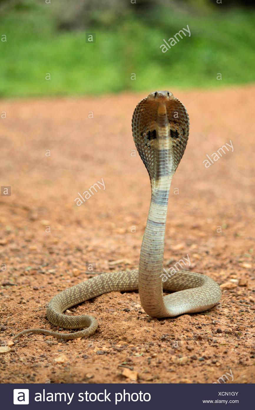 Spectacled cobra, Naja naja, NCBS, Bangalore, India - Stock Image