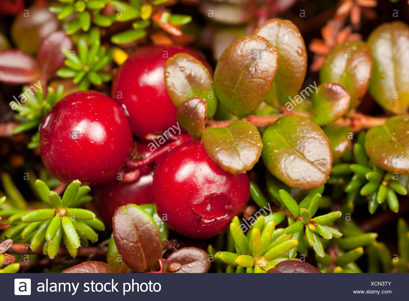 Macro view of Lowbush Cranberry growing in alpine area on Pillar Mountain, Kodiak Island, Southwest Alaska - Stock Image