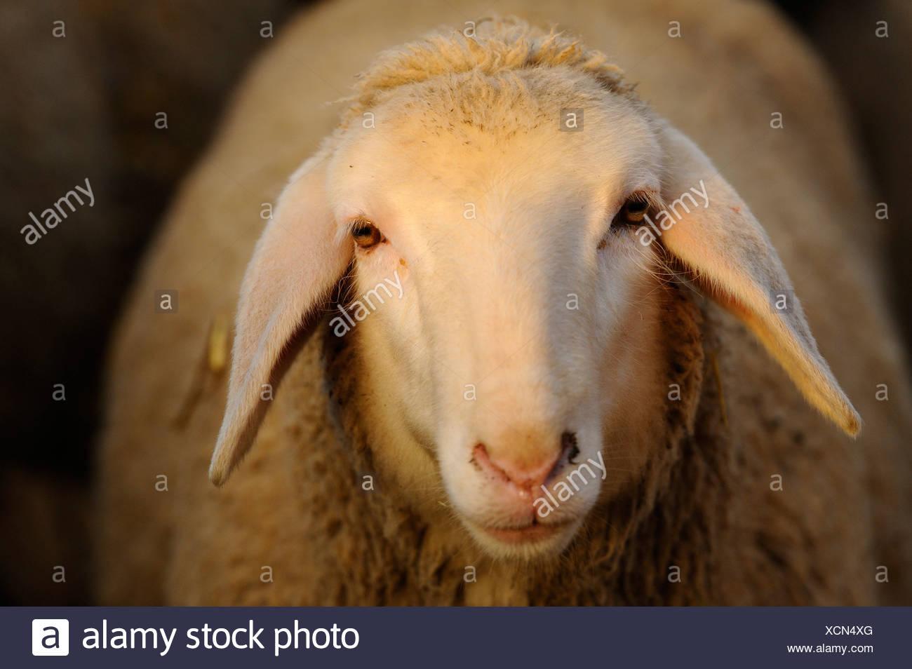 Merino sheep, portrait - Stock Image
