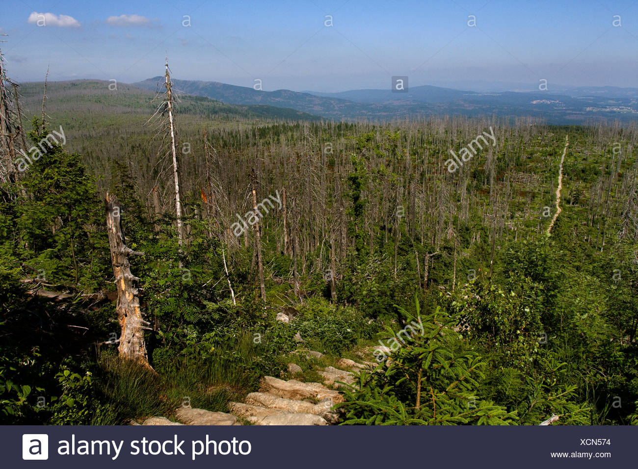 Norway spruce (Picea abies), forest dieback at Lusen in National Park Bavarian Forest, Germany, Bavaria, Bavarian Forest National Park Stock Photo