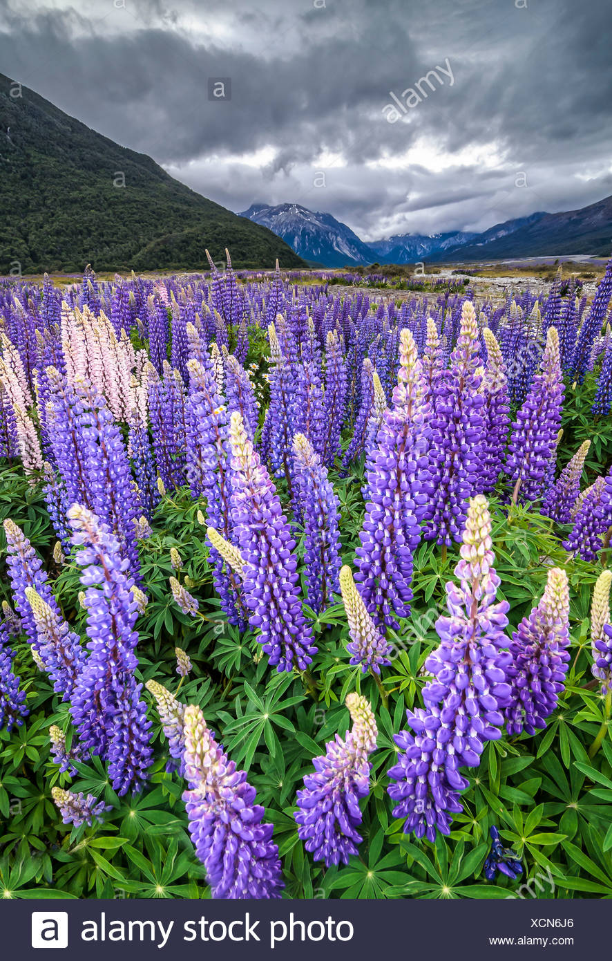 Purple lupins with pink tips (Lupinus) at Arthur's Pass National Park, vast valley at back, South Island, New Zealand, Oceania - Stock Image