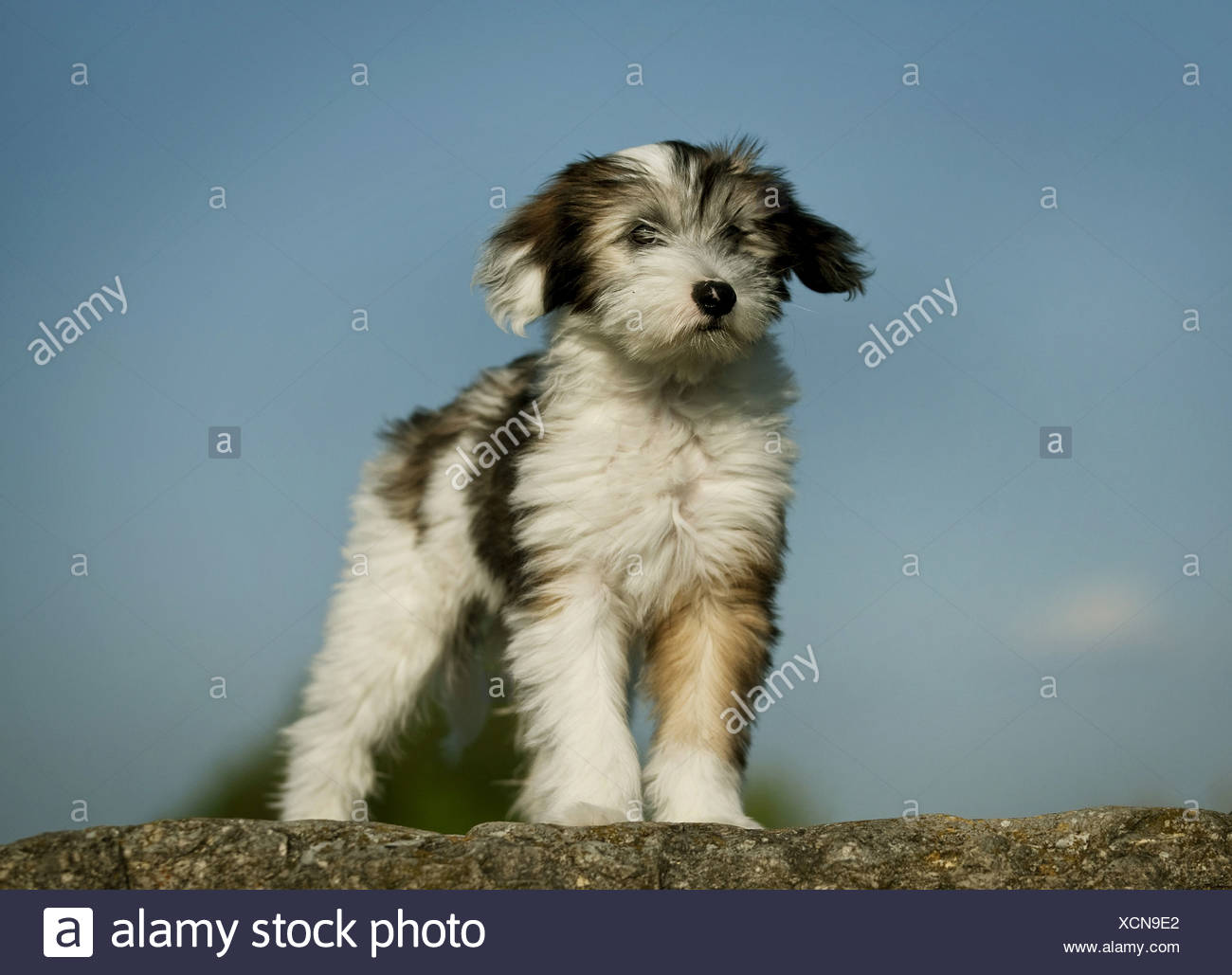 Tibetan Terrier (Canis lupus f. familiaris), brown whith spotted puppy standing on a boulder, Germany - Stock Image
