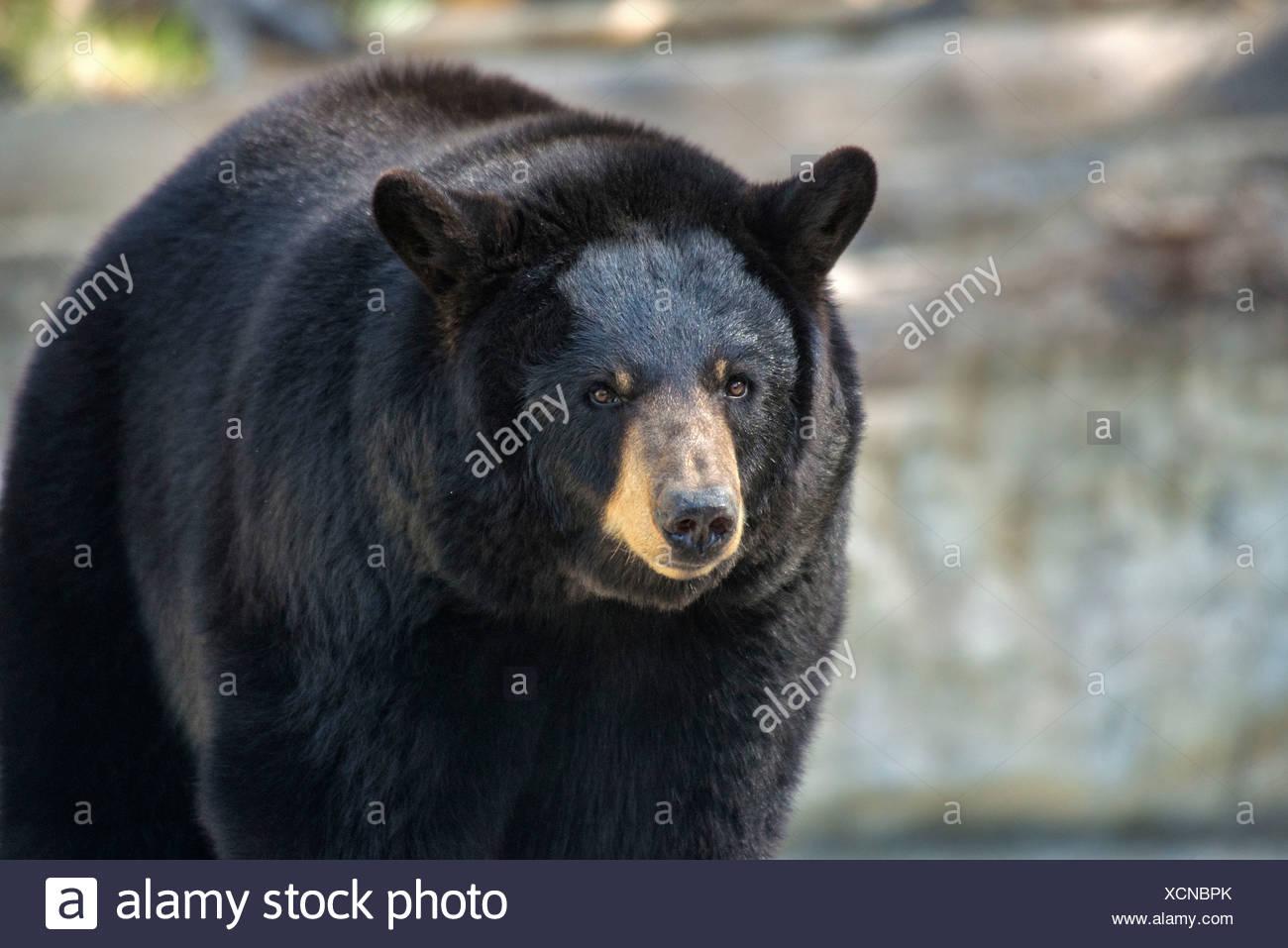 black bear, ursus americanus, bear, animal, USA, United States, America, Stock Photo