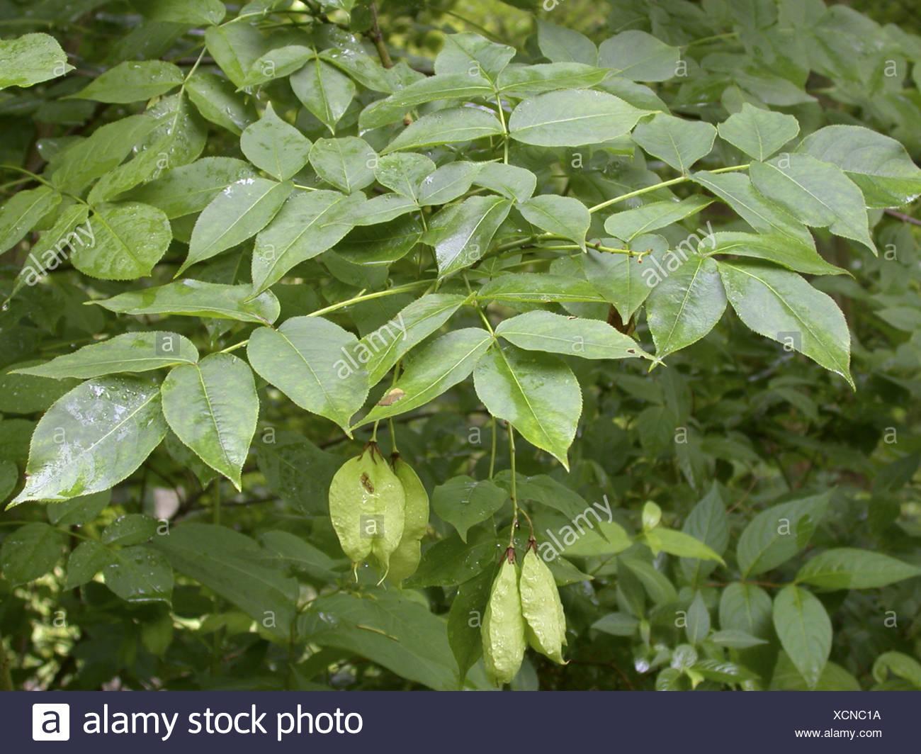 golden rain tree (Koelreuteria paniculata), fruiting Stock Photo