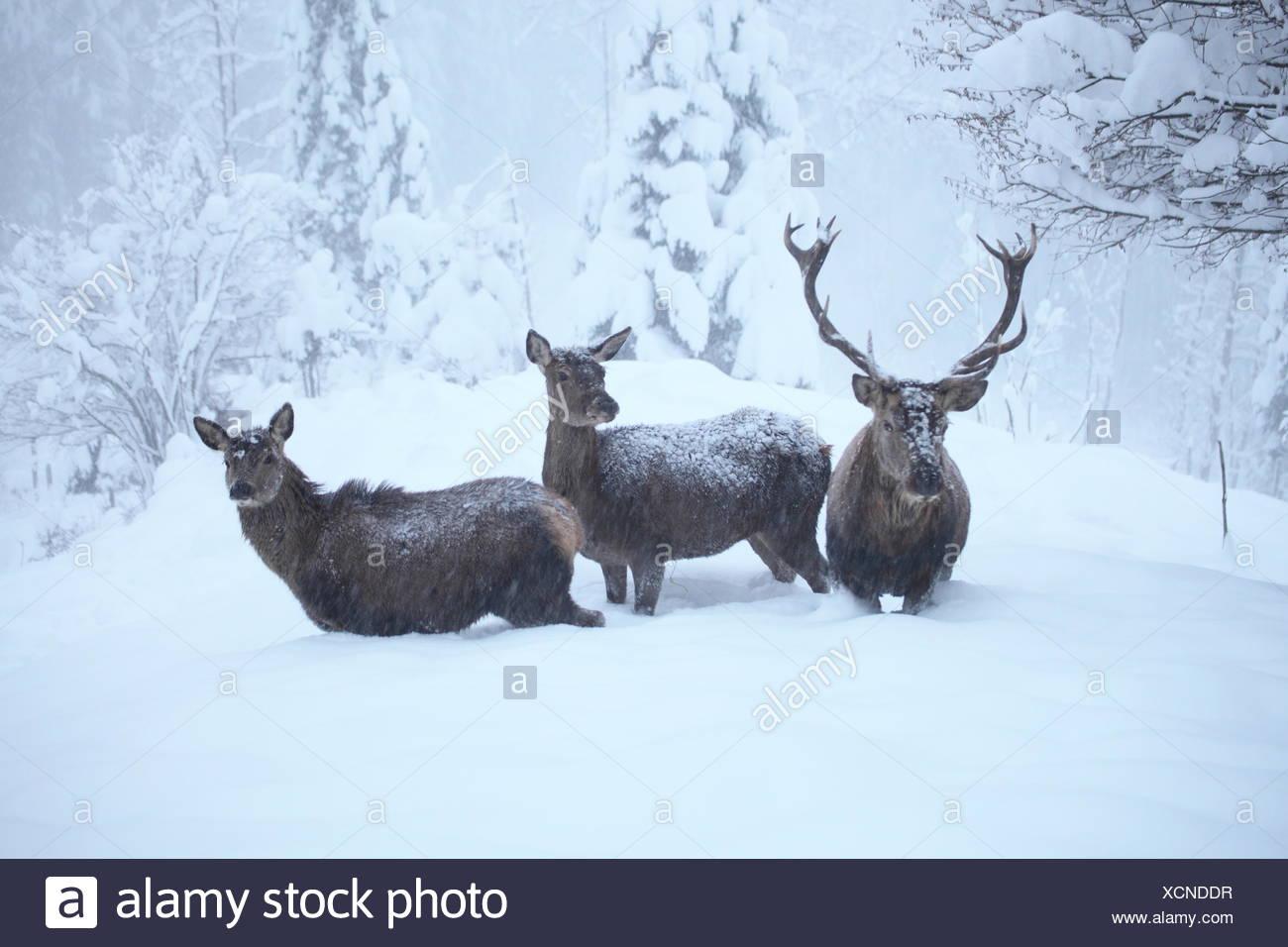 red deers in winter Stock Photo