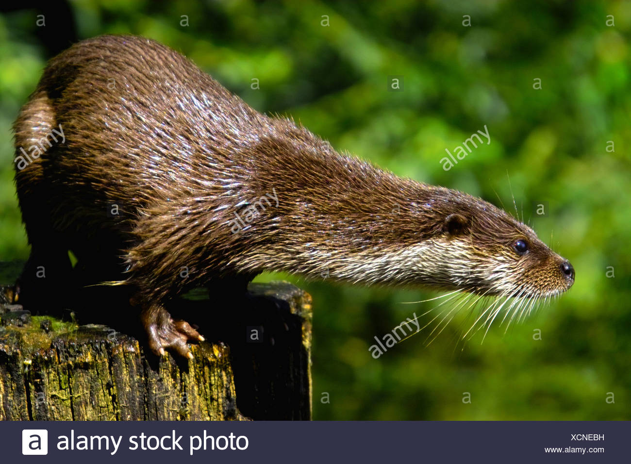 Close-up of River Otter (Lutra Lutra) on tree stump - Stock Image