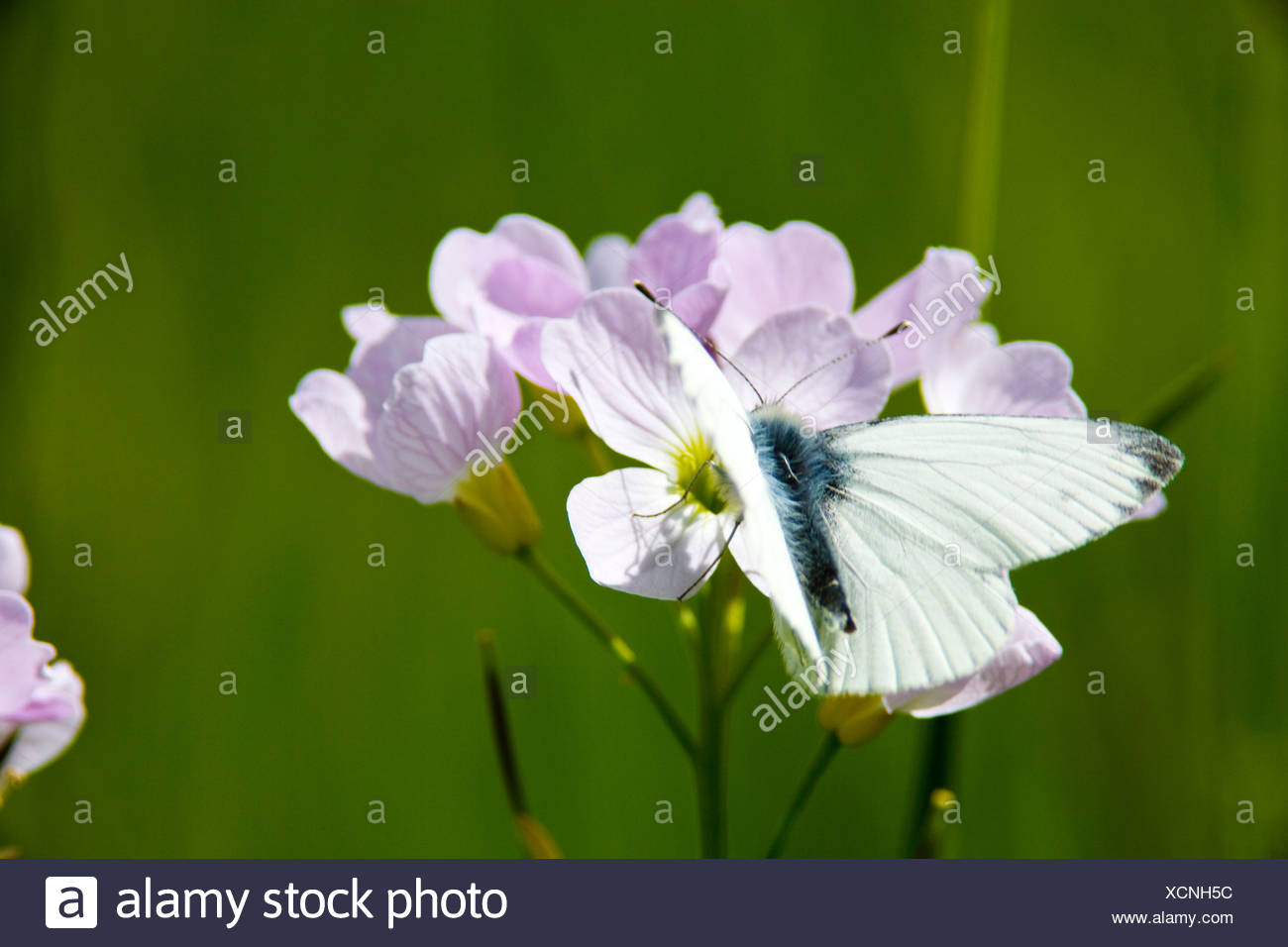 Mayflower or cuckoo flower with white butterfly Stock Photo