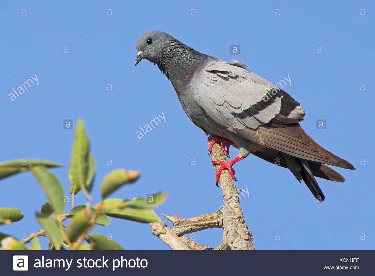 Rock Dove (Columba livia) perching on a twig, low angle view - Stock Image