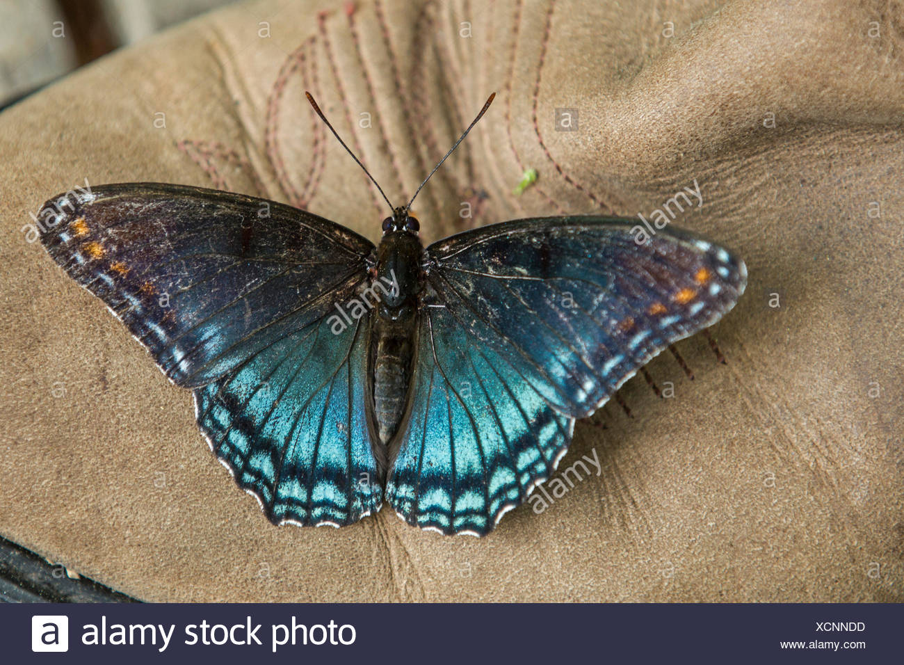 Red-spotted Purple (Limenitis arthemis astyanax), sucks minerals from a leather boot, USA, Tennessee, Great Smoky Mountains National Park - Stock Image