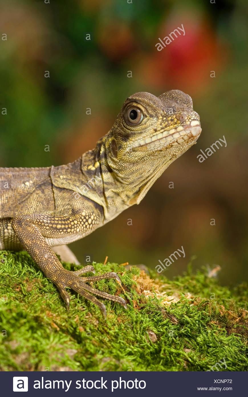Weber's sail-fin lizard, Webers sail-fin dragon, green sail-fin dragon, soa soa (Hydrosaurus weberi), portrait Stock Photo