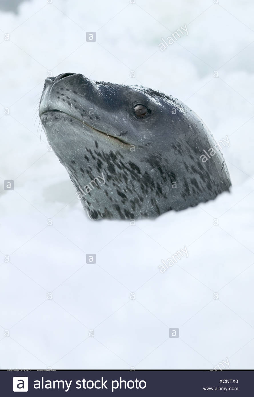 Leopard Seal emerging through slushy ice Coulman Island Antarctica - Stock Image