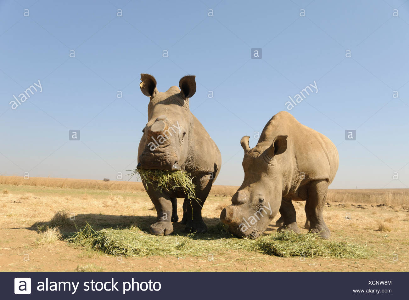 White Rhinos (Ceratotherium simum) with sawed-off horns being fed during the dry season, Rietvlei Nature Reserve, near Pretoria - Stock Image