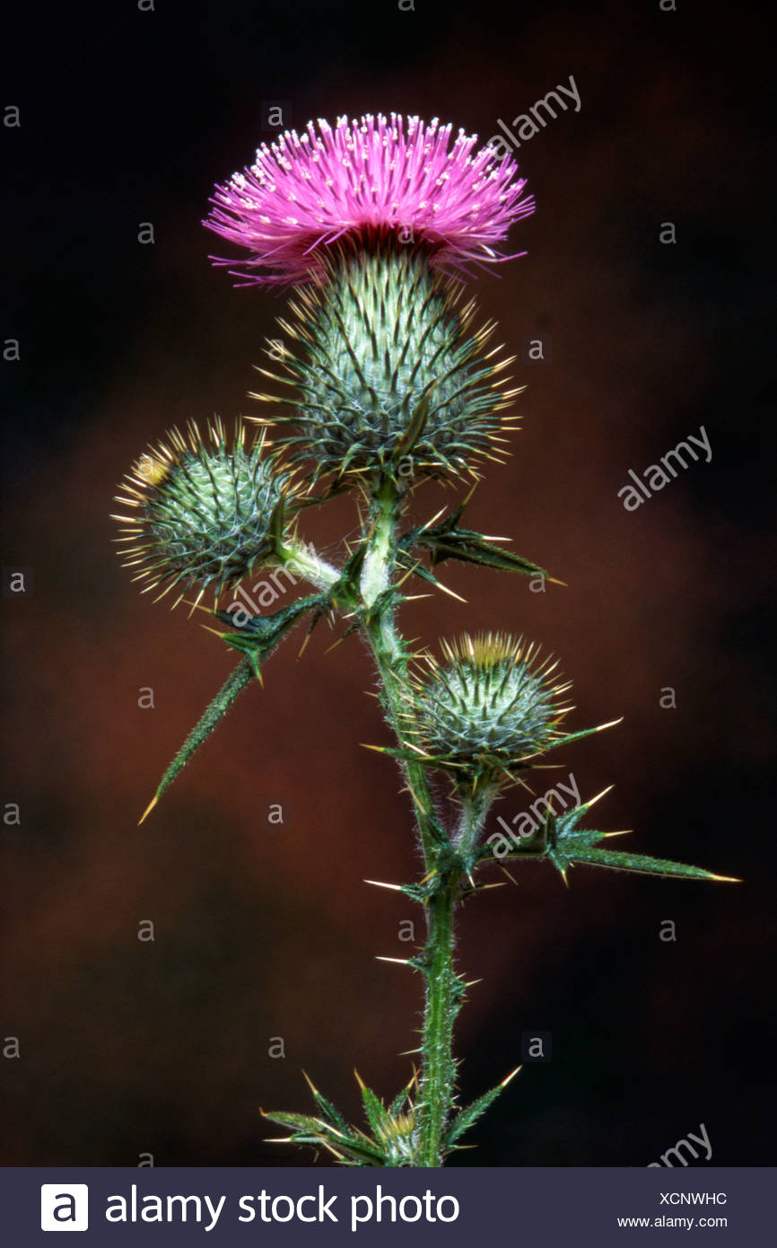 Bull Thistle (Cirsium vulgare) Stock Photo