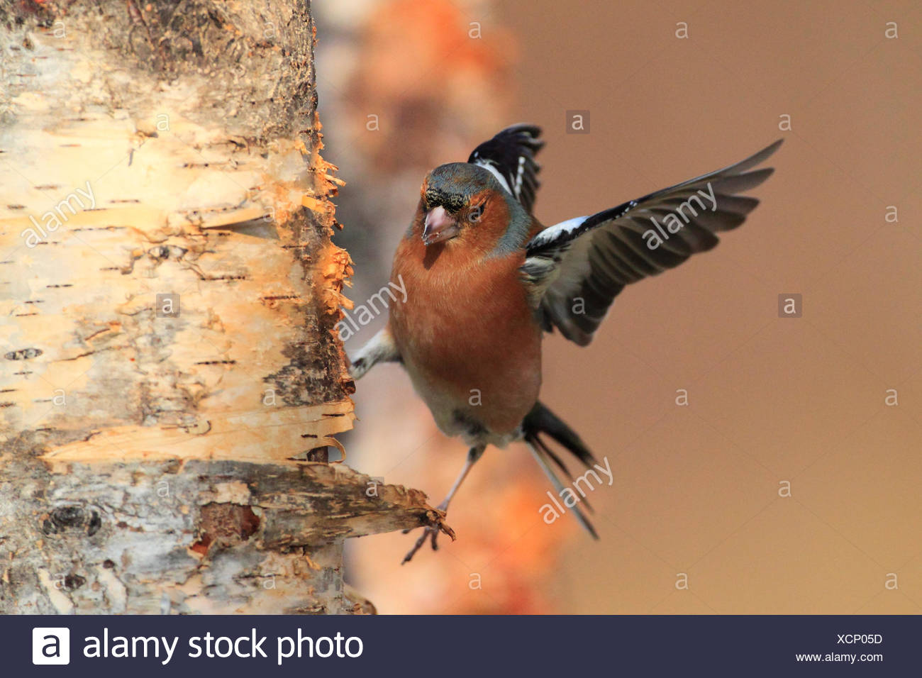 chaffinch (Fringilla coelebs), at birch trunk, United Kingdom, Scotland, Cairngorms National Park - Stock Image