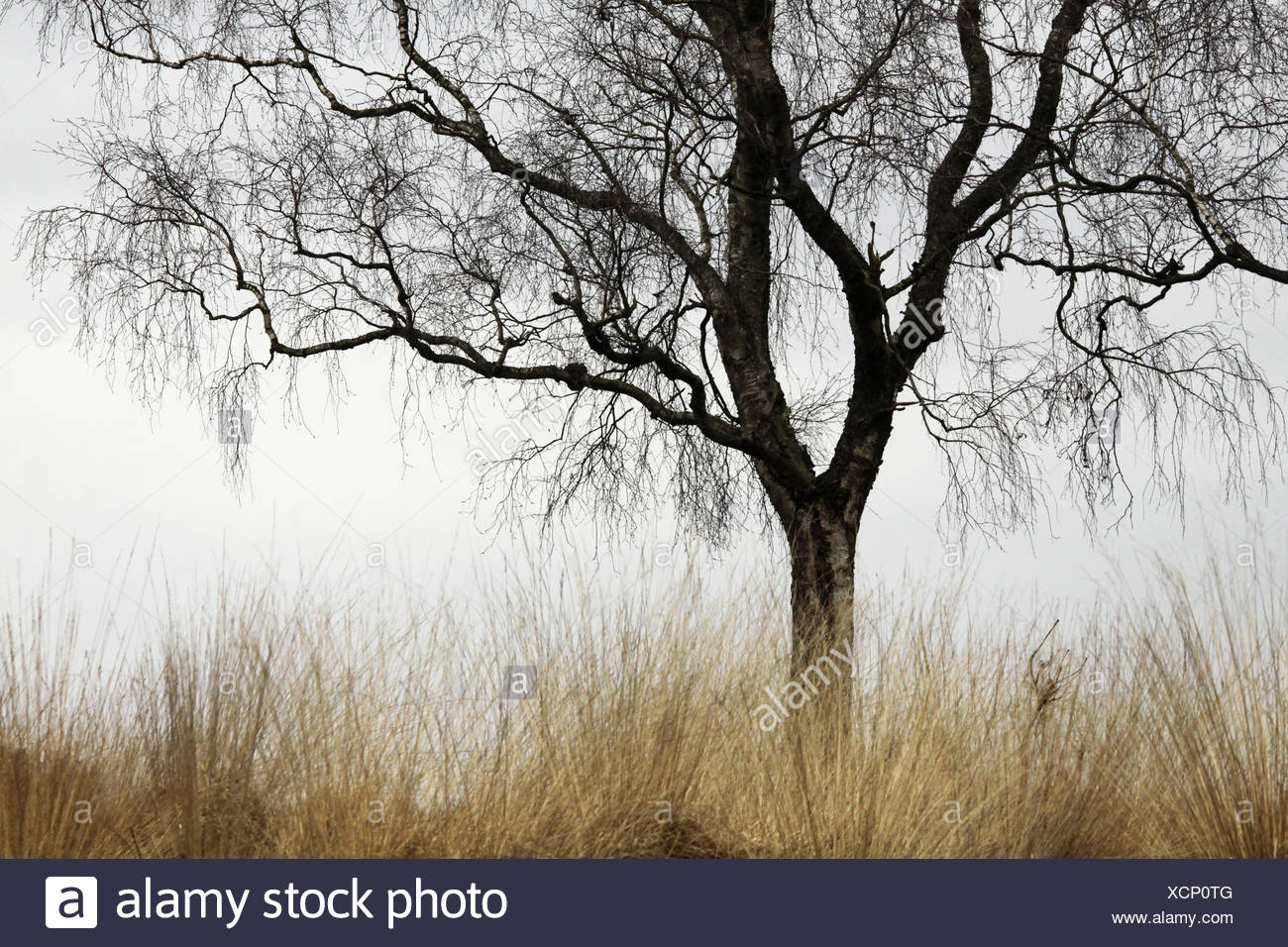 Detail of a Birch at winter. - Stock Image