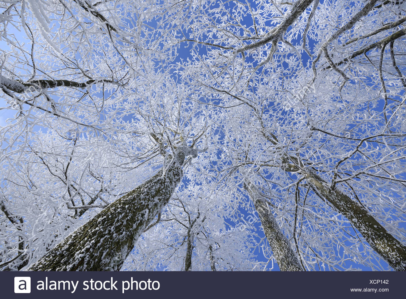 hoar frost on tree tops, view from below, Germany, Hesse, Rhoen, Wasserkuppe - Stock Image