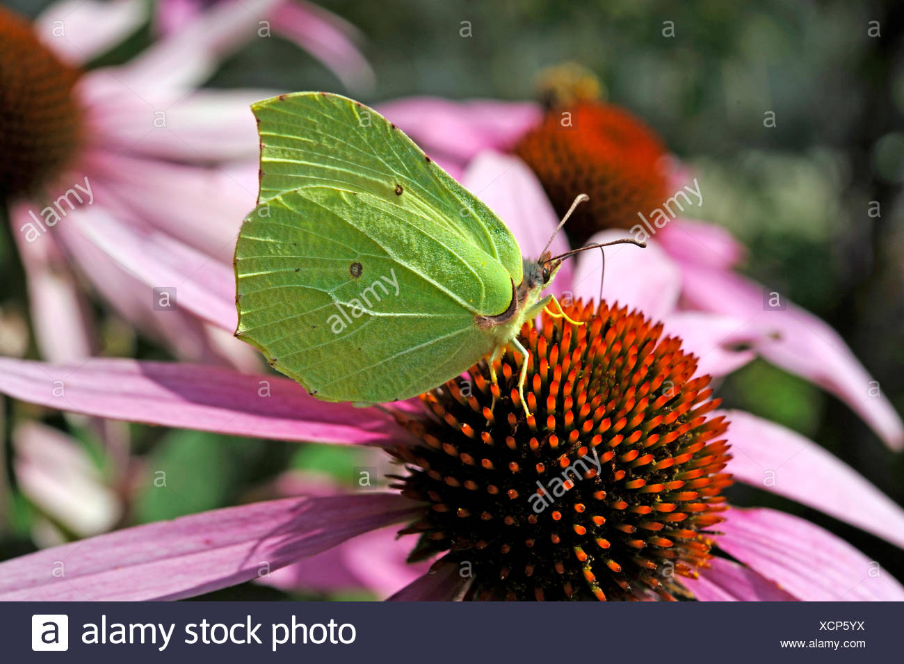 Brimstone butterfly lowering the proboscis in the tongue blossoms of a purple coneflower, also Rudbeckia, in the patch of a cottage garden - Stock Image