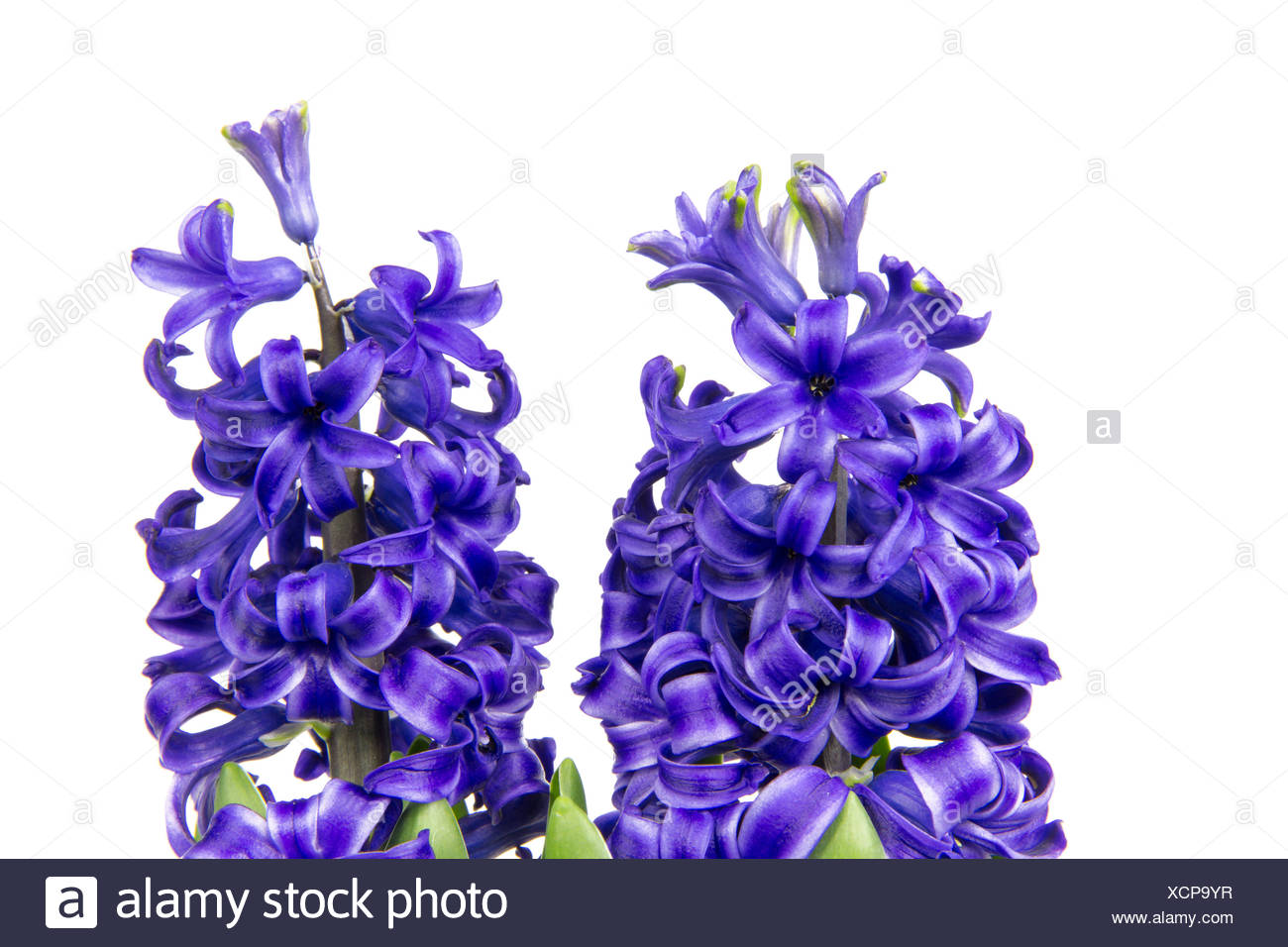 blue hyacinth 3 Stock Photo