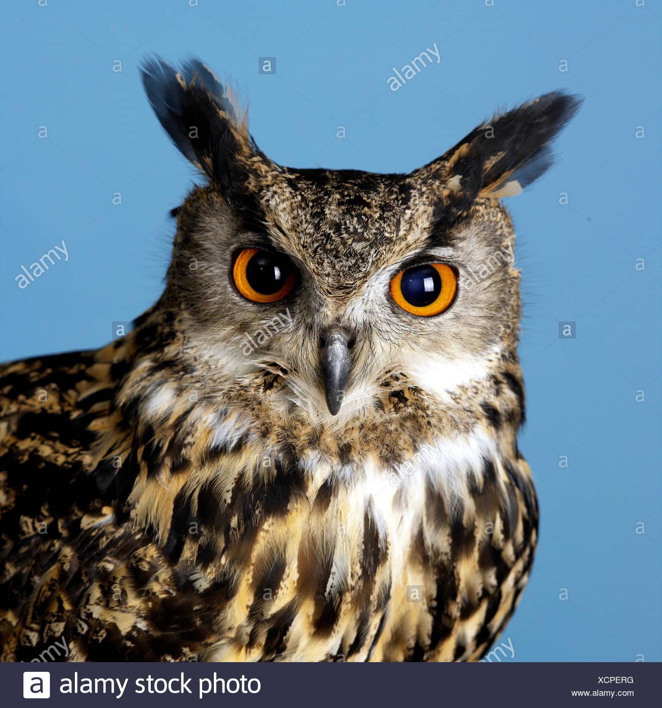 Eagle Owl - Stock Image