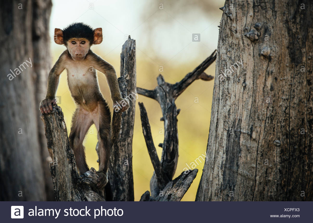 A young baboon standing on a tree branch. - Stock Image
