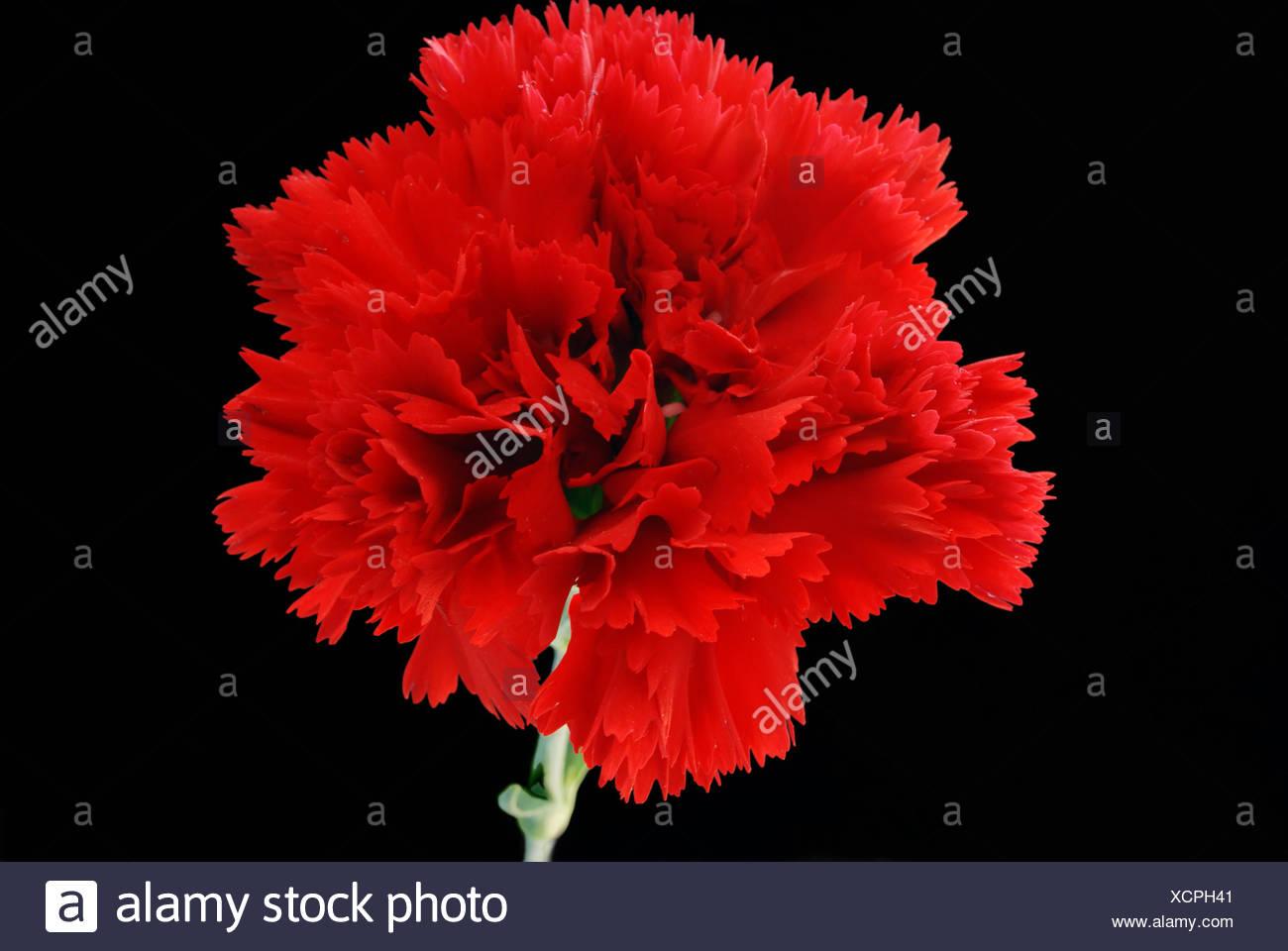 macro close-up macro admission close up view optional flower plant carnation - Stock Image