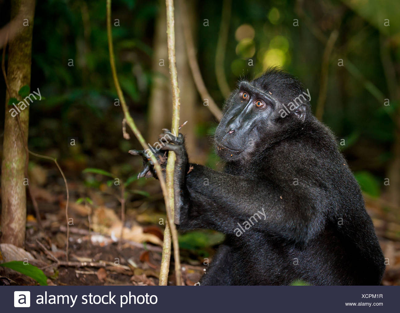 Black macaque, Sulawesi, Indonesia Stock Photo