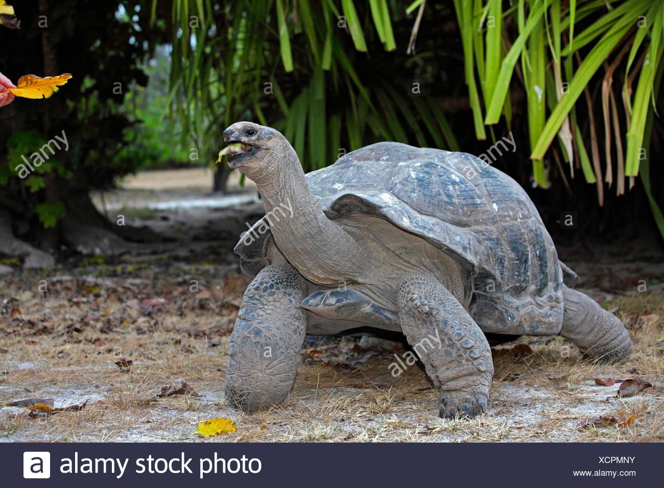 Seychelles giant tortoise, Aldabran giant tortoise, Aldabra giant tortoise (Aldabrachelys gigantea, Testudo gigantea, Geochelone gigantea, Megalochelys gigantea), feeding  leaves, Seychelles, Bird Island - Stock Image