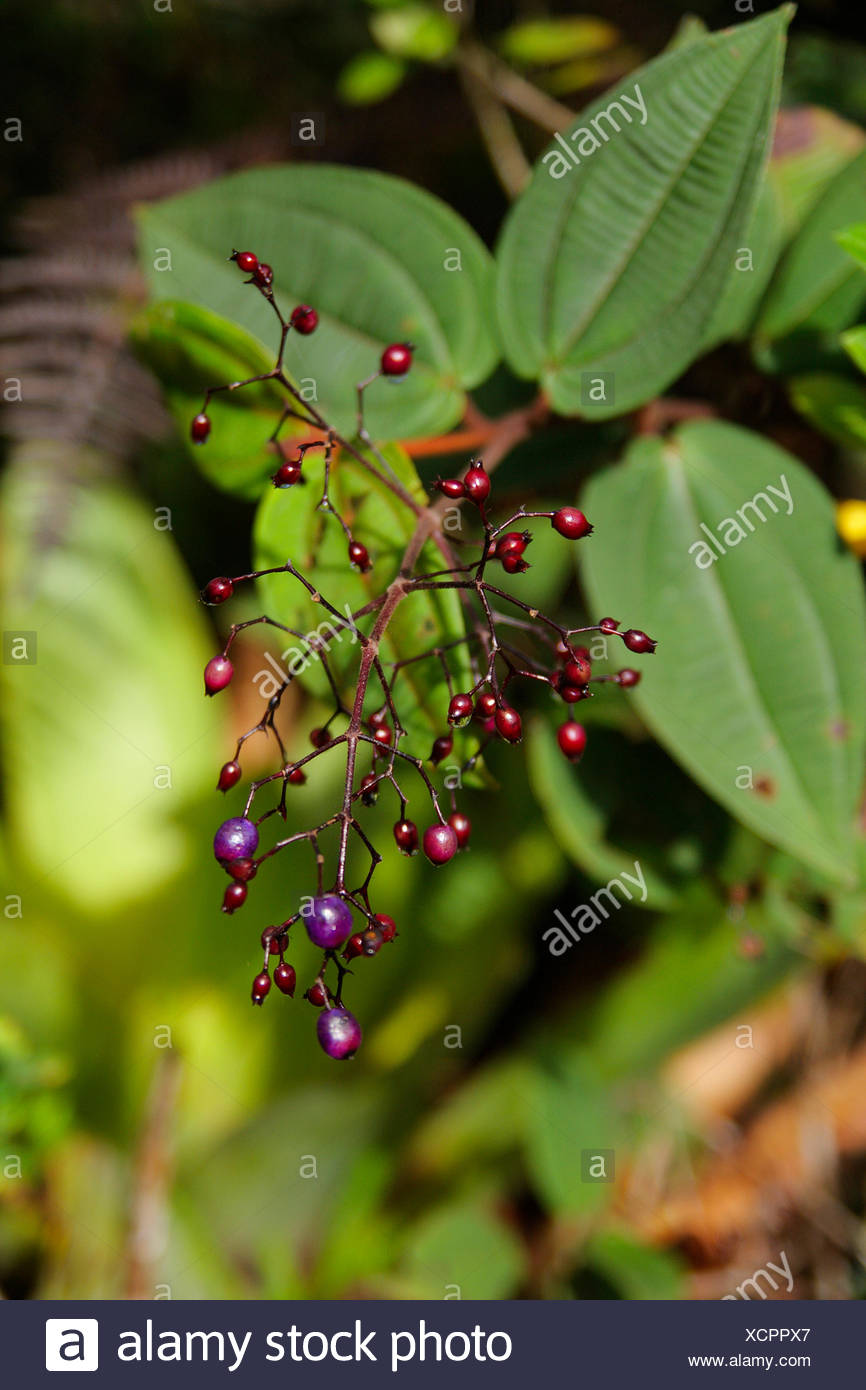Malastomataceae at Roraima Tepui, Venezuela, Canaima National Park - Stock Image