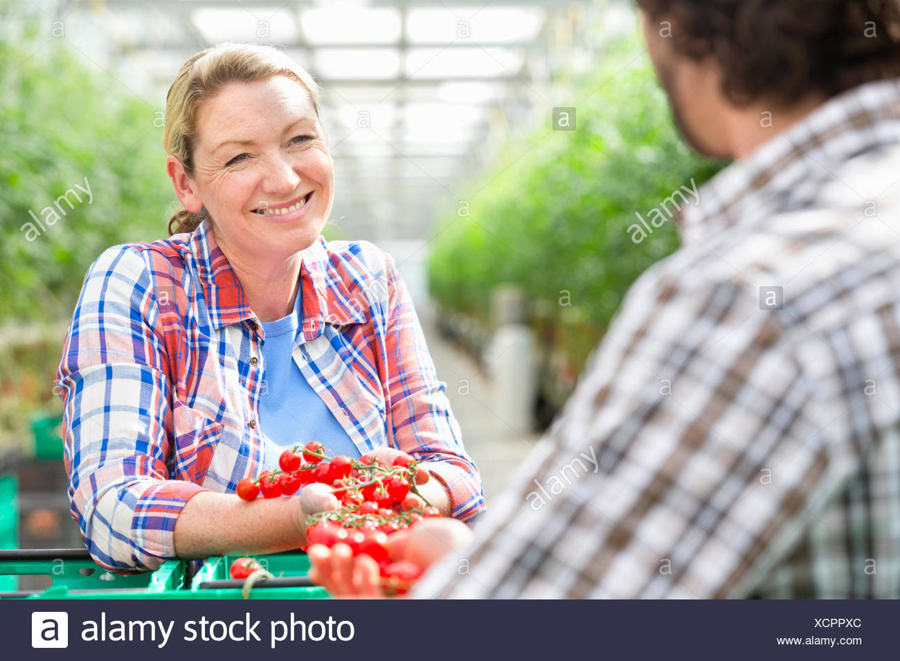 Growers talking and inspecting ripe red vine tomatoes in greenhouse - Stock Image