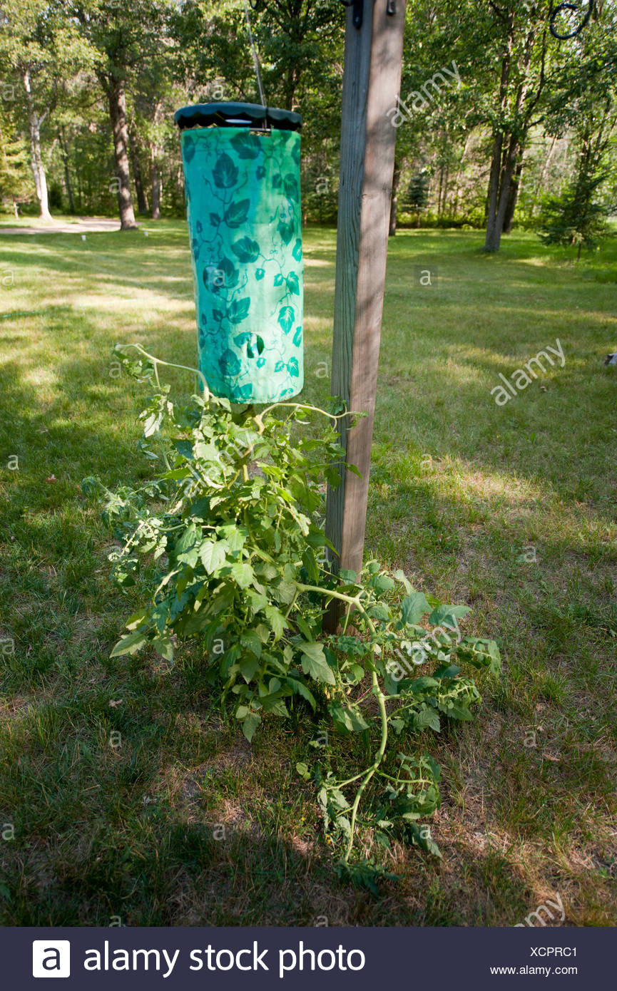 An upside down tomato plant in Crosslake, MN. - Stock Image