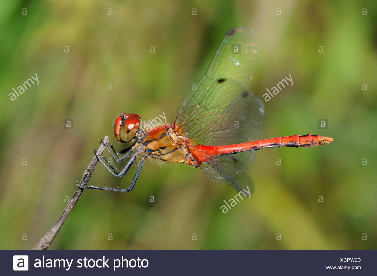 Ruddy Darter on twig - Northern Vosges France - Stock Image