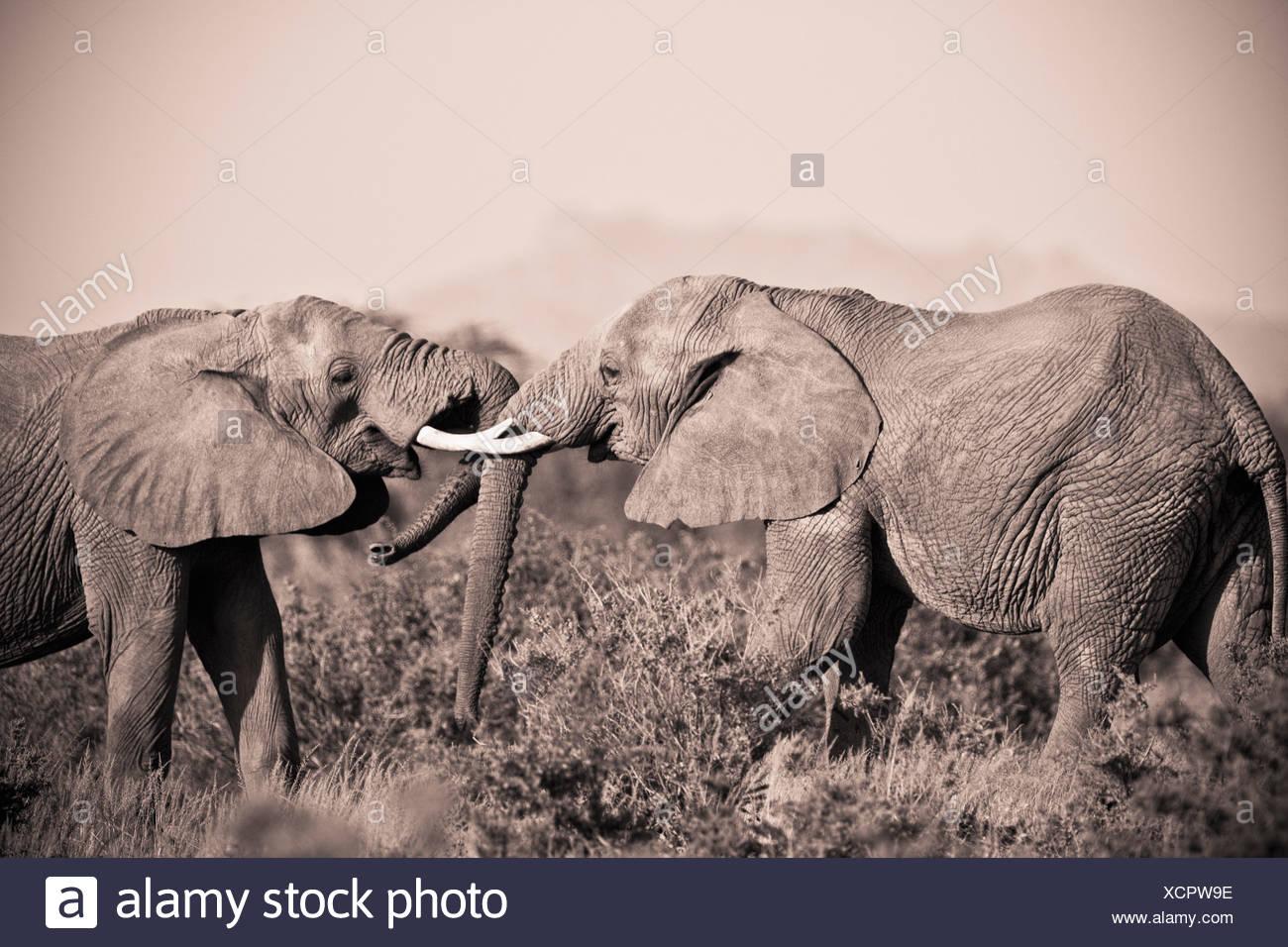 Two Elephants With Their Trunks Touching; Samburu Kenya - Stock Image