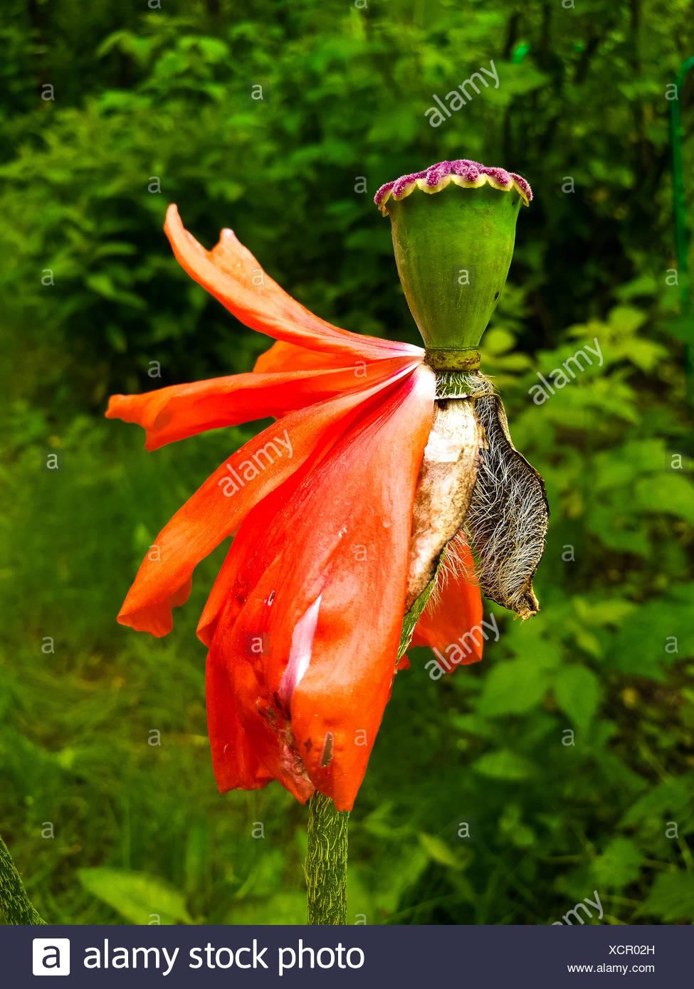 Orange Flower with Falling Petals - Stock Image